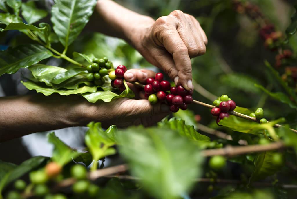 mains qui cueille le café